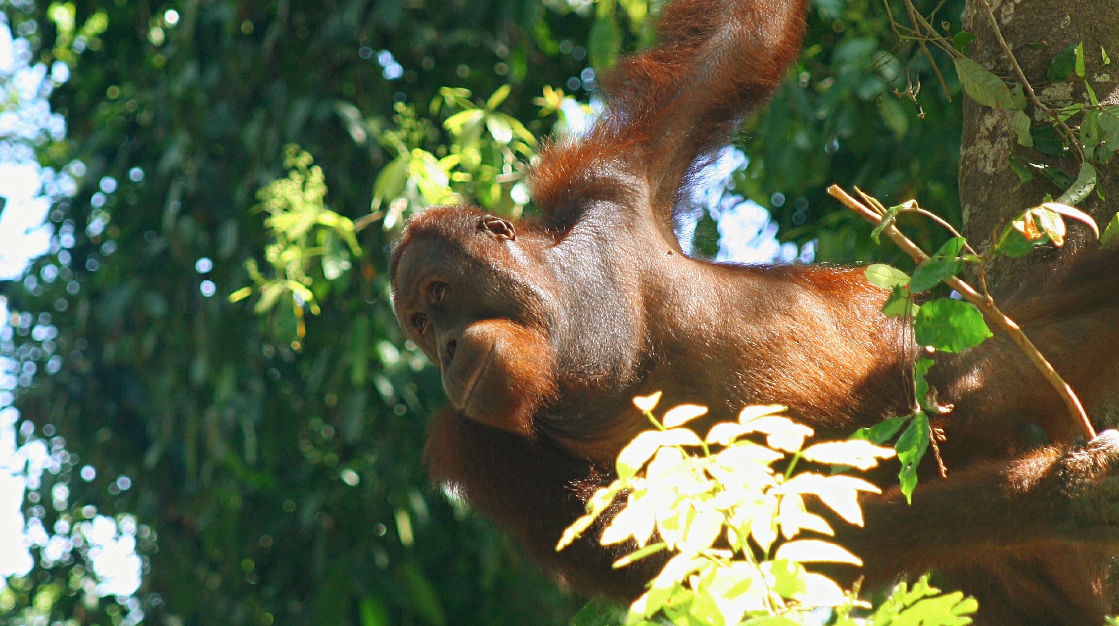 Borneos djungler